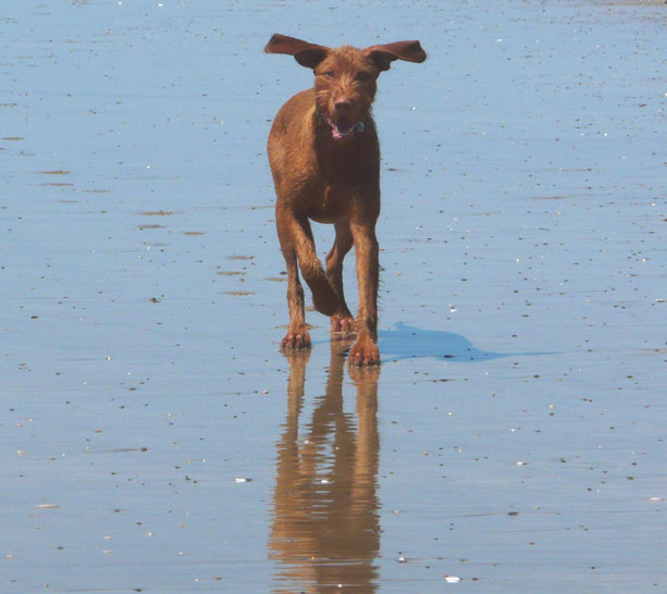 Belatarr Hungarian Wirehaired Vizsla. | It\'s a dog thing… | Page 25