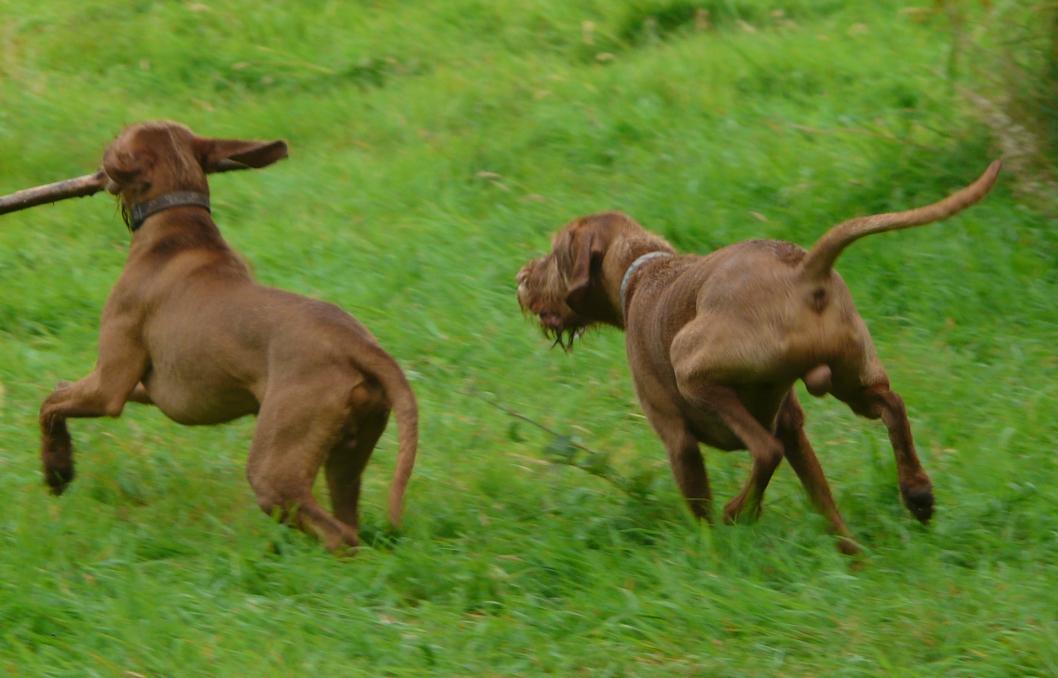 hungarian vizsla dog puppy £ 850 posted 4 months ago for sale dogs ... Vizsla Oregon