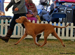Billie in action in the Gundog Group ring.