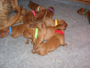Ruby puppies 1