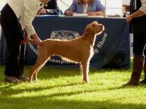 Billie having her examination the Gundog Group in the Best in Show Ring.