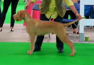 Belatarr North By Northwest taking Best Puppy at 7 months of age.