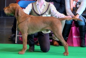 Belatarr Hercules - 1st place in his very first Champ show Limit Dog class.