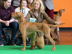 Belatarr Thirtynone Steps - Matilda - stacked beautifully at her Crufts debut!