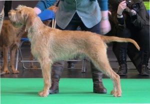 Belatarr North by Northwest - 2nd place in a big Junior Dog class.